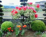 ウメサンちの庭に咲く赤い牡丹とチューリップ