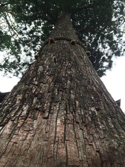 三峰神社 樹齢800年の杉