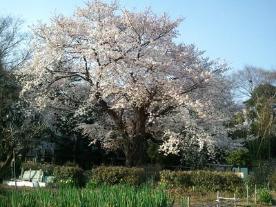 53 うめさんちの近所にある弥勒院の桜